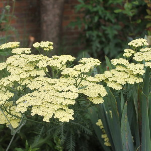 Achillea 'Flowers of Sulphur'