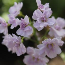 cardamine-pratensis-flore-pleno