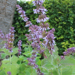 Salvia verticillata 'Hannays Blue'