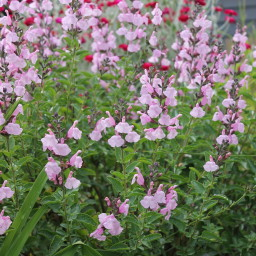 Salvia 'Peter Vidgeon'