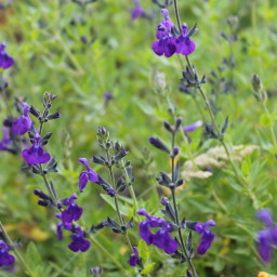 Salvia 'Purple Queen'