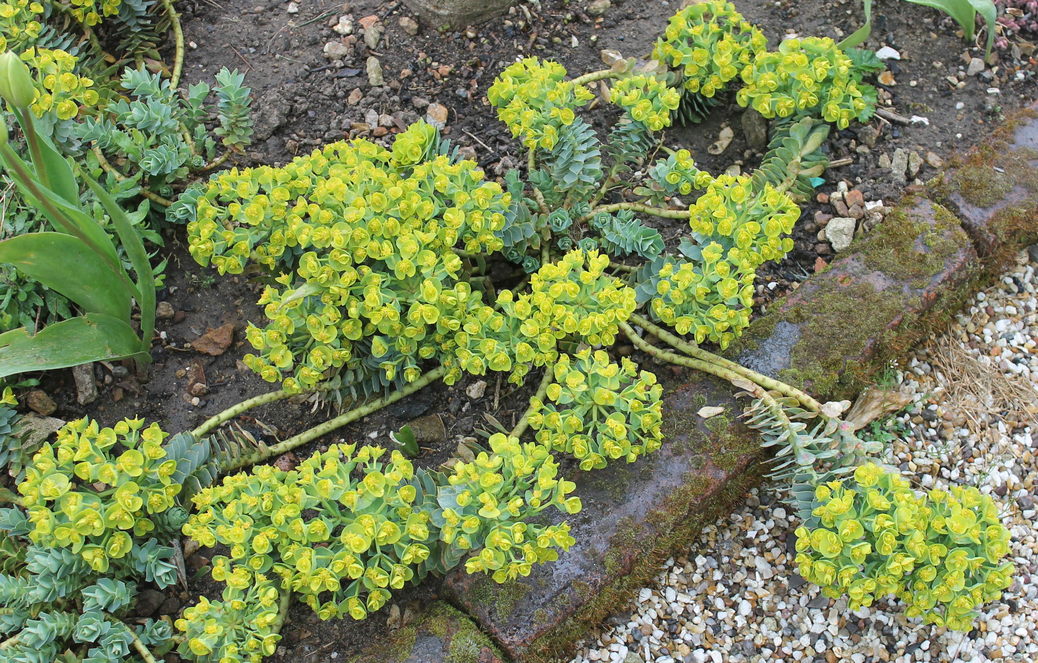 Beautiful home gardens - Euphorbia Myrsinites Beechbridge Plants