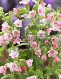 pulmonaria pierres pure pink