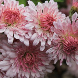 chrysanthemum emperor of china