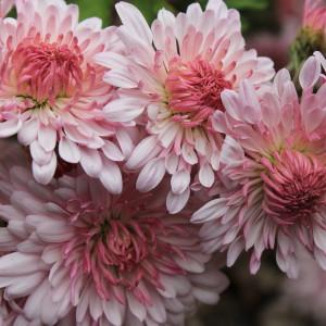 chrysanthemum emperor of china