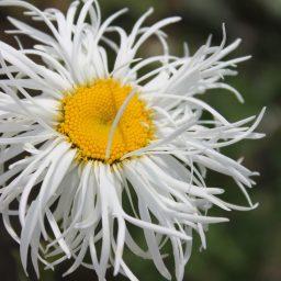 leucanthemum beaute nivelloise