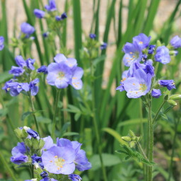 polemonium northern lights