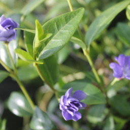 Vinca minor 'Azurea Flore Plena'