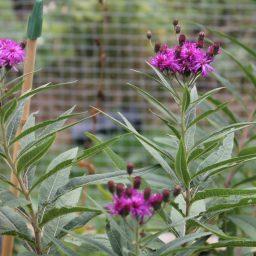 Vernonia 'Mammuth'
