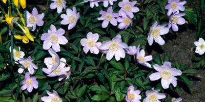 anemone-nemerosa-Robinsoniana